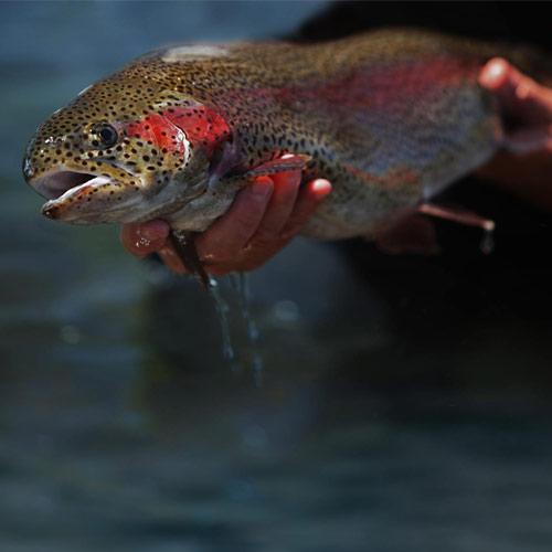 mt lassen trout